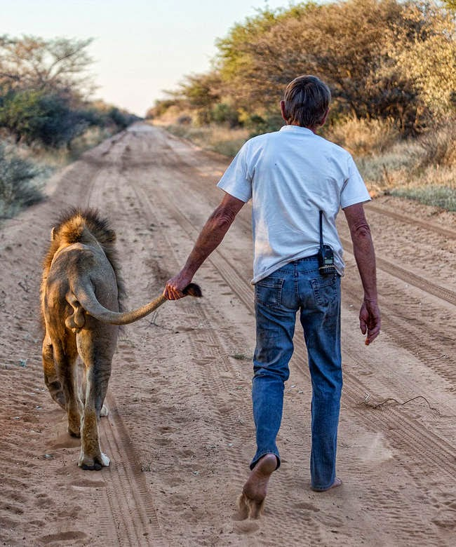 The two enjoy taking long walks together, during which Frikkie affectionately hold Zion's tail. - This Is The Story Of A Man And His Best Friend, A Lion Named Zion