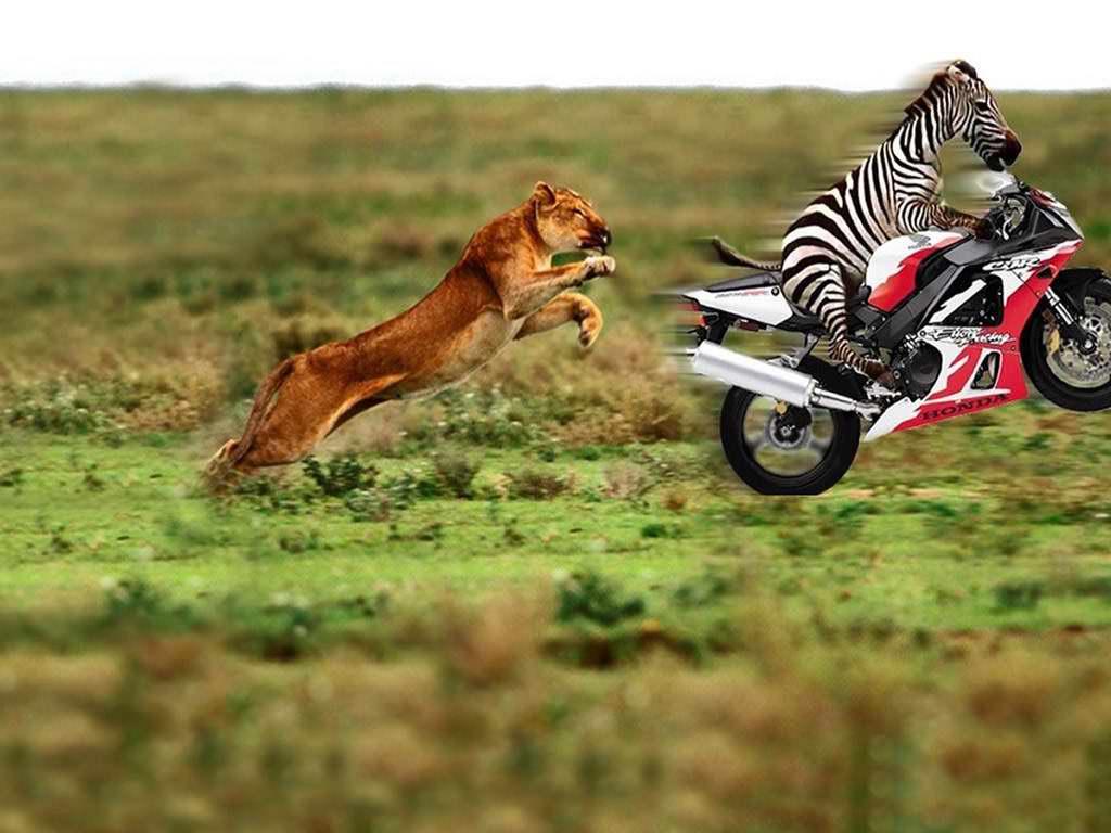 Zebra na motoru, uhvati me ako možeš