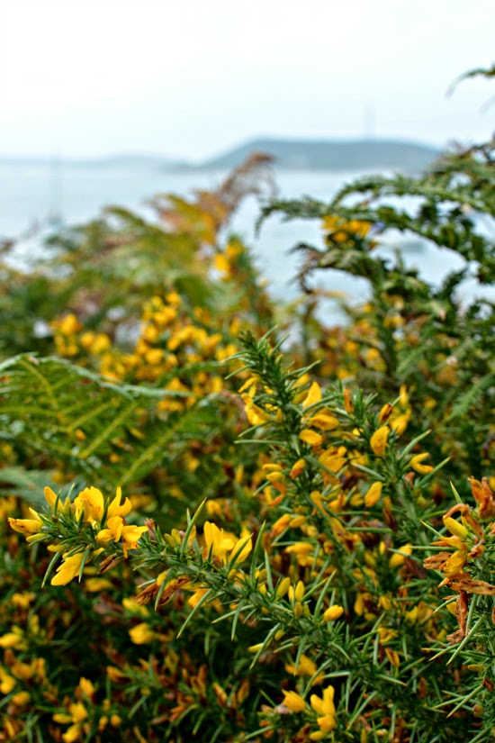 Yellow flowers on Tresco coastal path