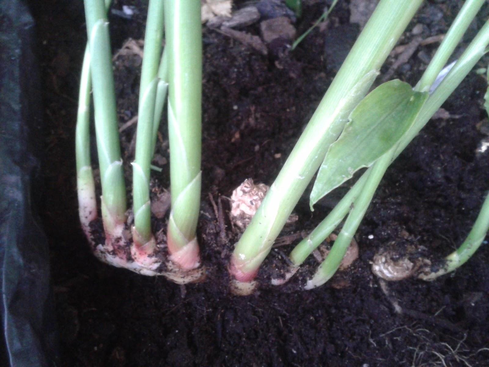 Quoi semer au jardin planter du gingembre for Arrosage des bulbes