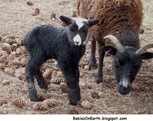BABY RAM