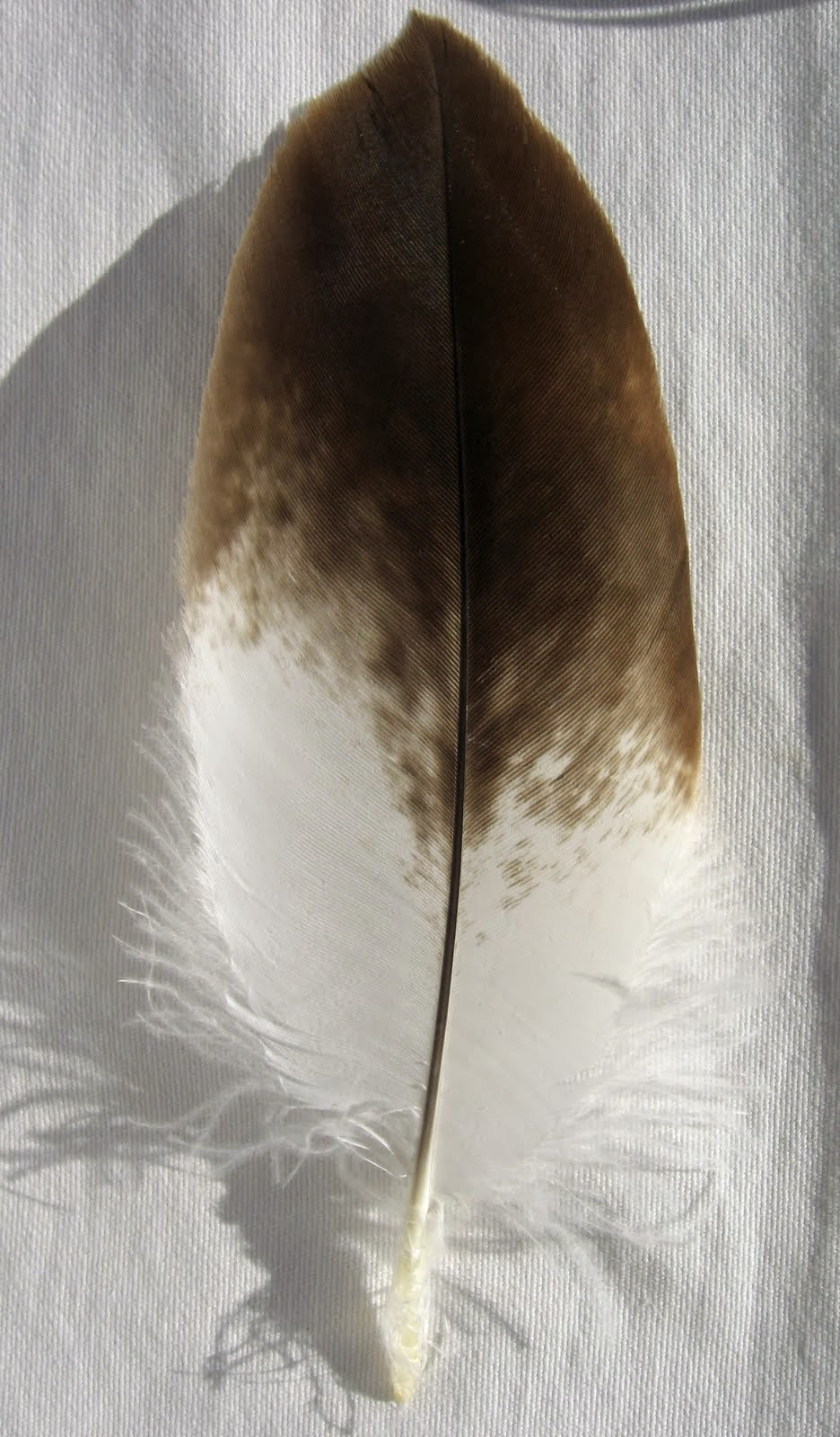 Feder von einem Steinadler