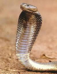 manfaat bisa ular