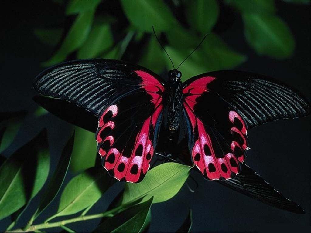 Amazing Black Purple Butterfly | Okay Wallpaper