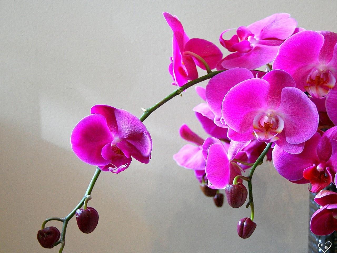 Орхидеи домашние в горшке. Уход в домашних условиях 66
