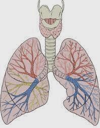 paru-paru organ pernapasan