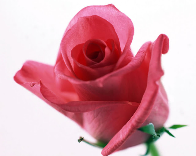 Beautiful Rose Wallpapers