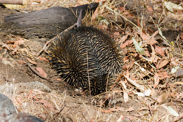 echidna digging into ground