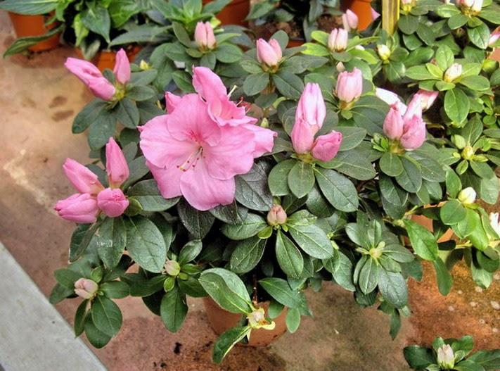 Plantas y flores azalea japonica - Azalea cuidados planta ...