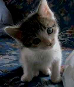 gambar anak kucing imut lagi menoleh