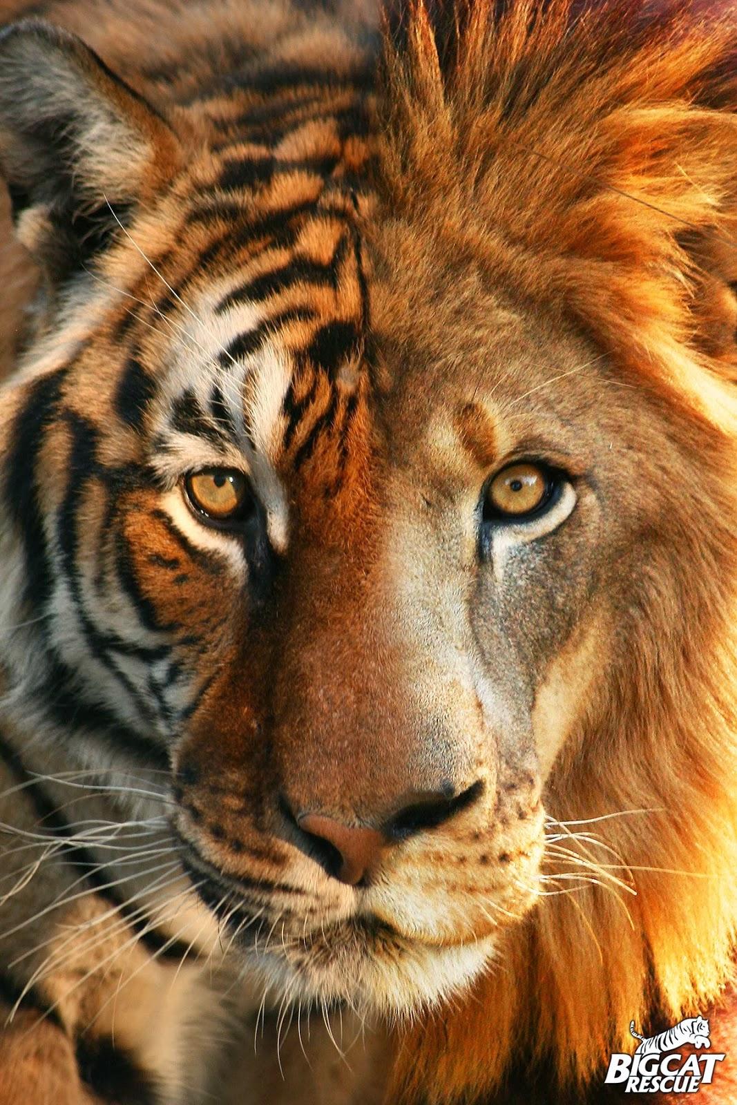 leao-vs-tigre