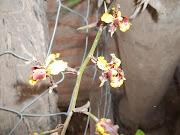 Distribución en Argentina: Provincias de Catamarca, Chaco, Formosa, Jujuy, . cyrtopodium punctatum luis romera