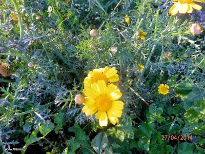 Νερομαντηλίδα-Chysanthemum segetum
