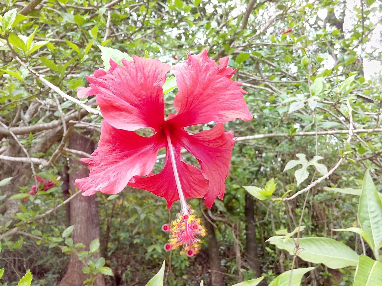 Jaswand hibiscus flower beautiful konkan hibiscus flower is known for its beauty as well as its medicinal uses and gardeners cultivate the plant for its showy flowers izmirmasajfo Choice Image