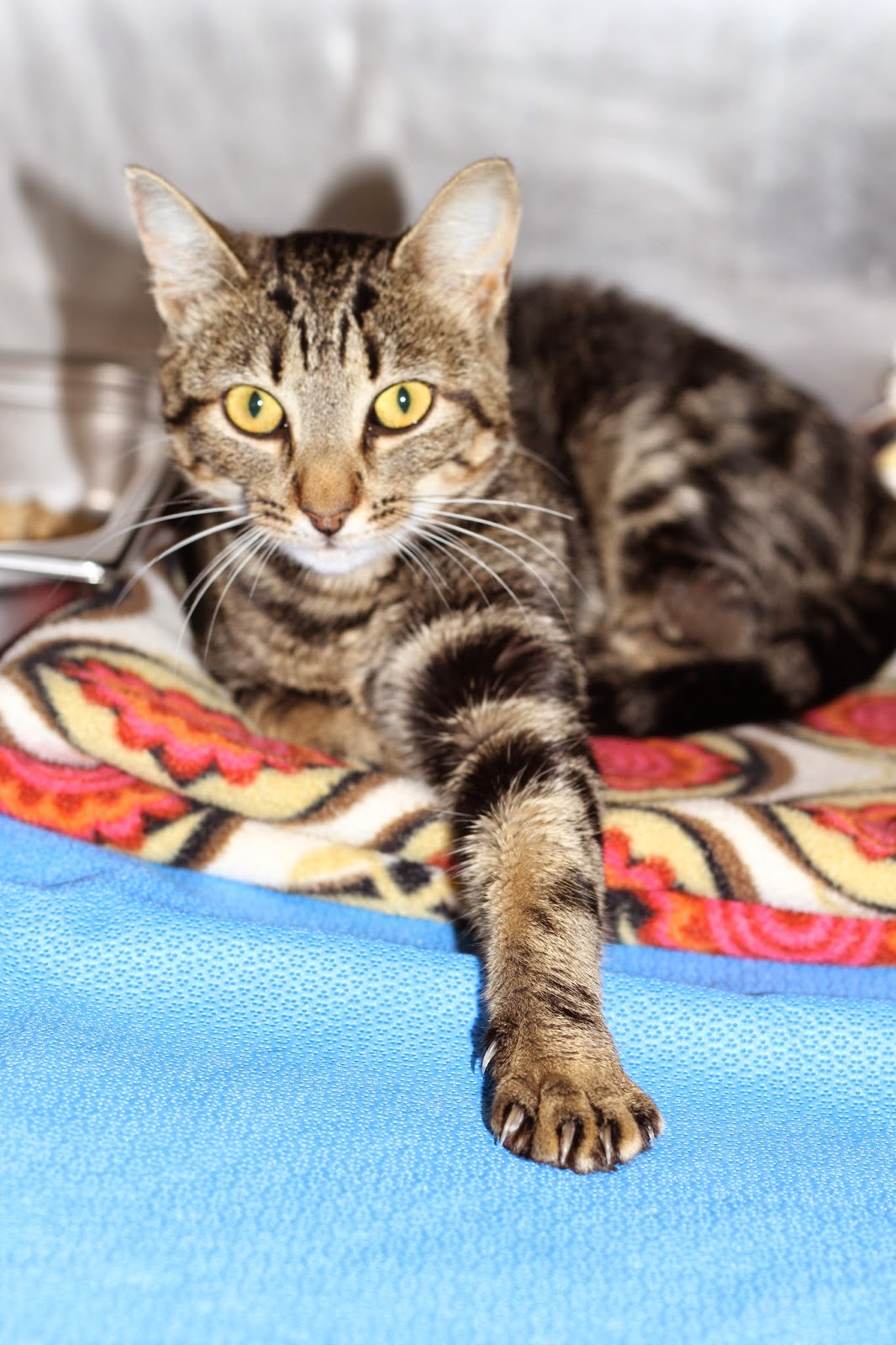 Declawing Cats Humane Declawing Cats Can Cause