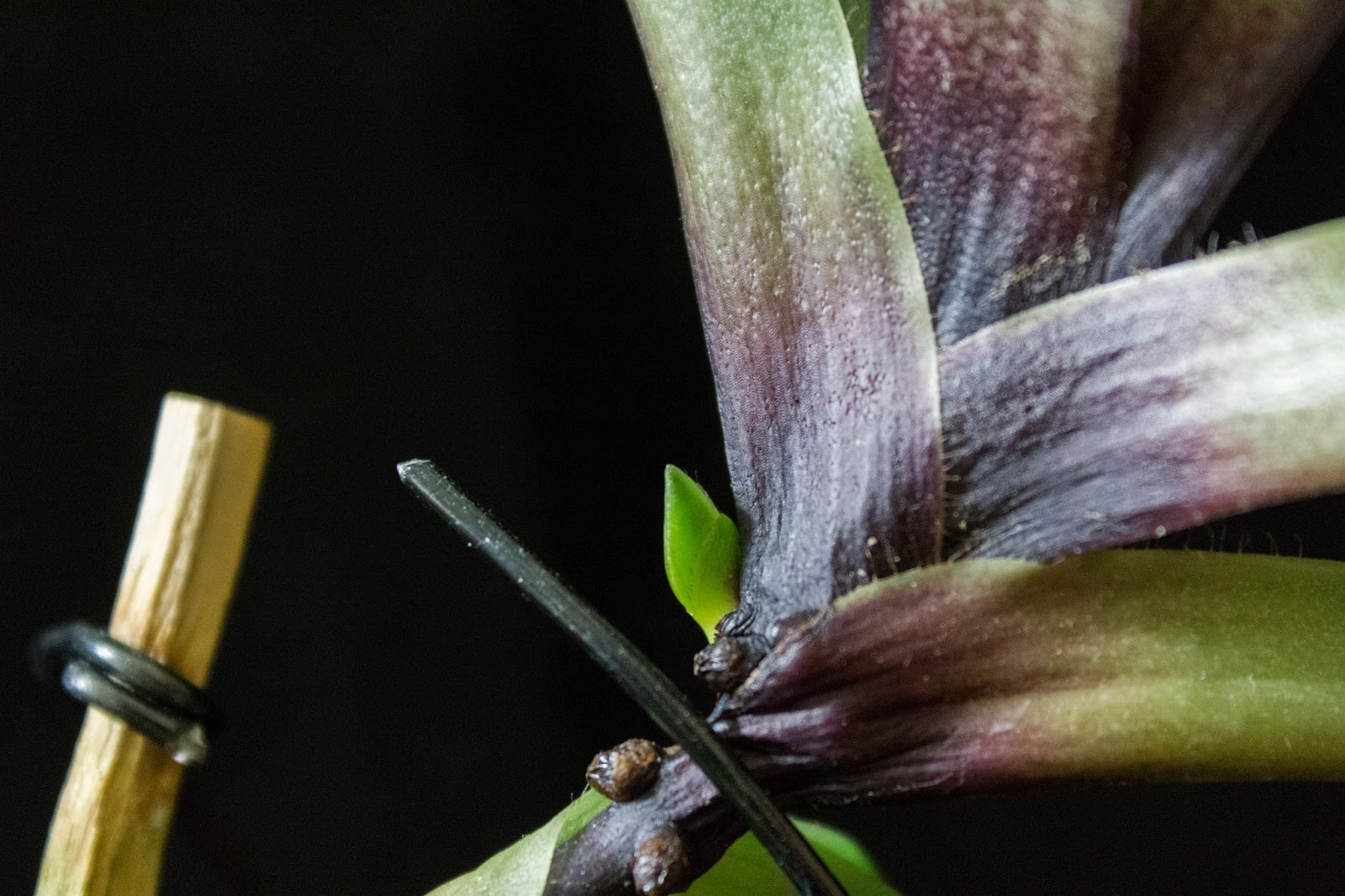How to Identify a New Orchid Root vs. Flower Spike | Brooklyn Orchids