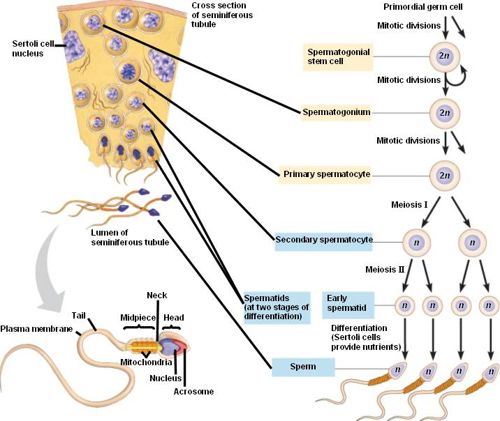 Реферат на тему сперматогенез