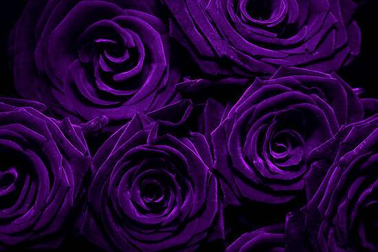 Wallpaper HD Blog Purple Roses