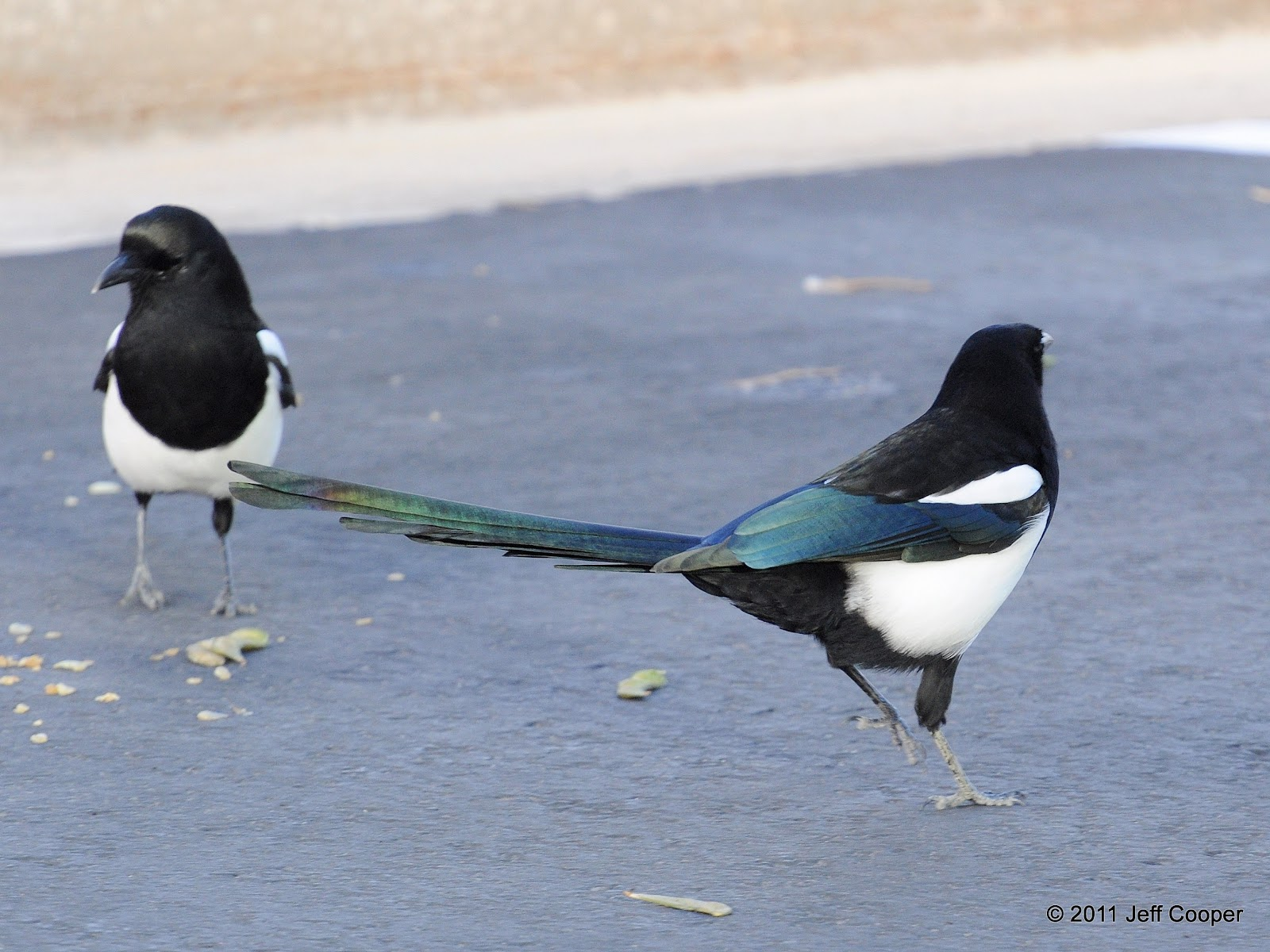 neovista birding love the one your with even if it is a magpie