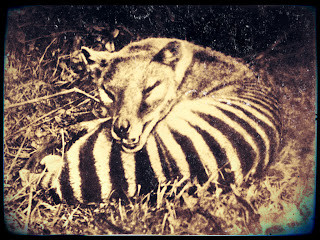 Sleeping Thylacine