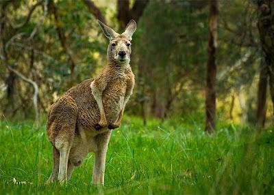 أجمل صور حيوانات غريبة صورة الكنغر