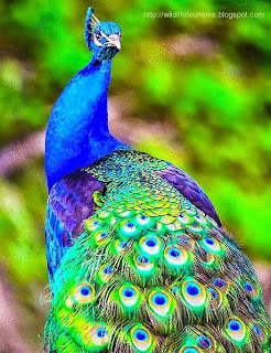 Peacock in Bor