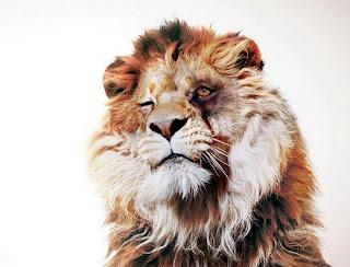 Lion-HD-Wallpaper