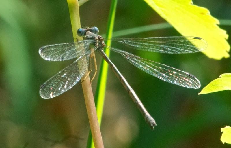 Slender Spreadwing (Lestes rectangularis)