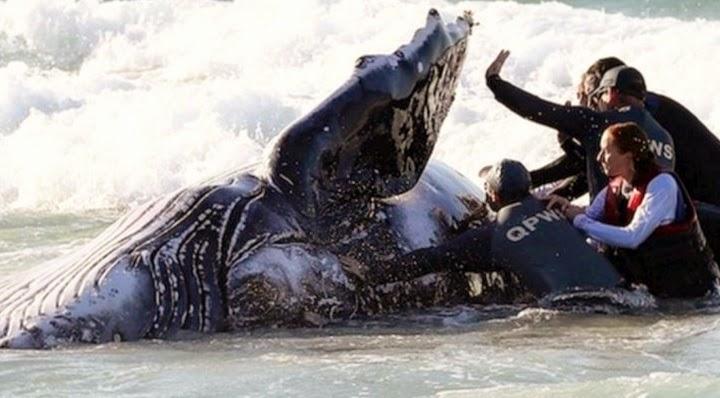 Les baleines pressentent les tsunamis