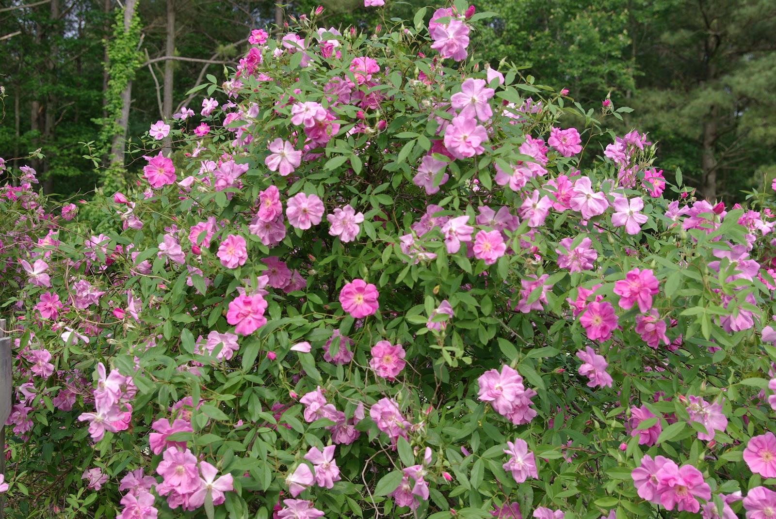 sweetbay: Blooming Friday ~ Fanciful Rosa Arkansana