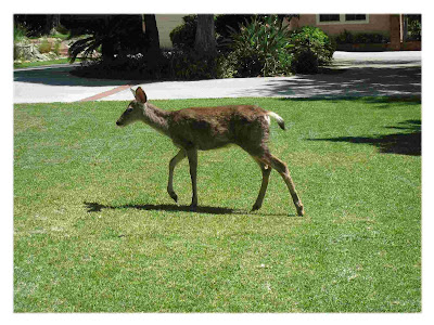 Deer in San Gabriel Valley is a Sign of a Healthy Ecosystem