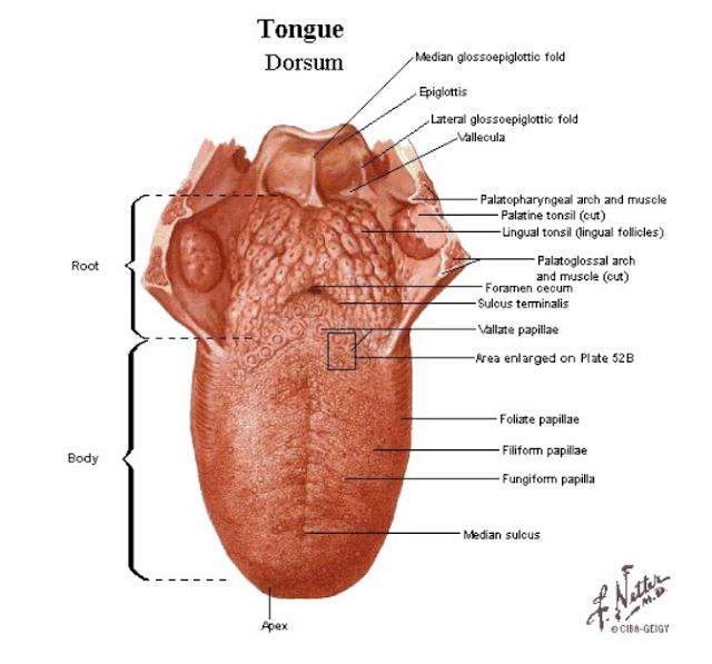 Mengenal Bagian-Bagian Lidah (Anatomi) dan Fungsinya
