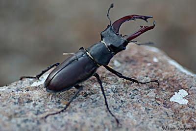 Radasca Lucanus cervus Stag Lucanidae Hirschkäfer Szarvasbogárfélék