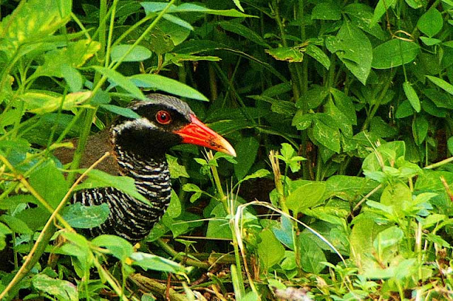 bird, Yanbaru Kuina