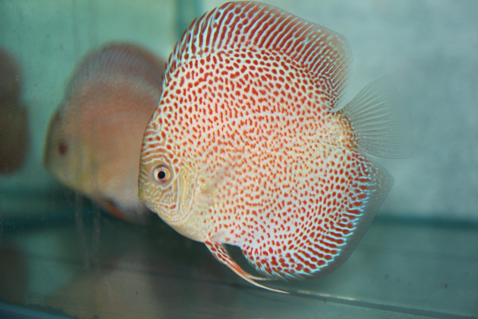 John 39 s discus february 2013 for Best place to buy discus fish