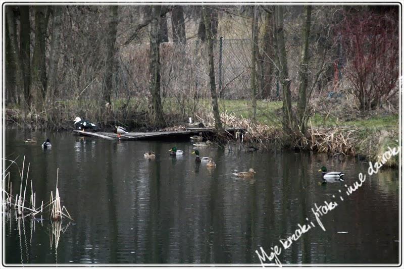 wiosna w polu i lesie, kaczka piżmowa
