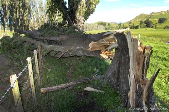 One of the trees which broke off  in high winds on Heays Access Rd, a no exit road to the popular Boundary Stream and Shine Falls, Putorino, Northern Hawke's Bay. photograph