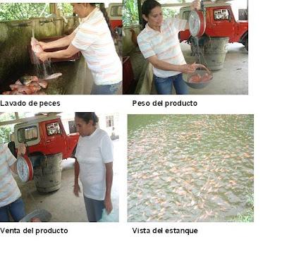 Explotacion de mojarra explotaci n de mojarra roja for Proyecto de piscicultura mojarra roja