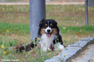 photo of my Australian Shepherd