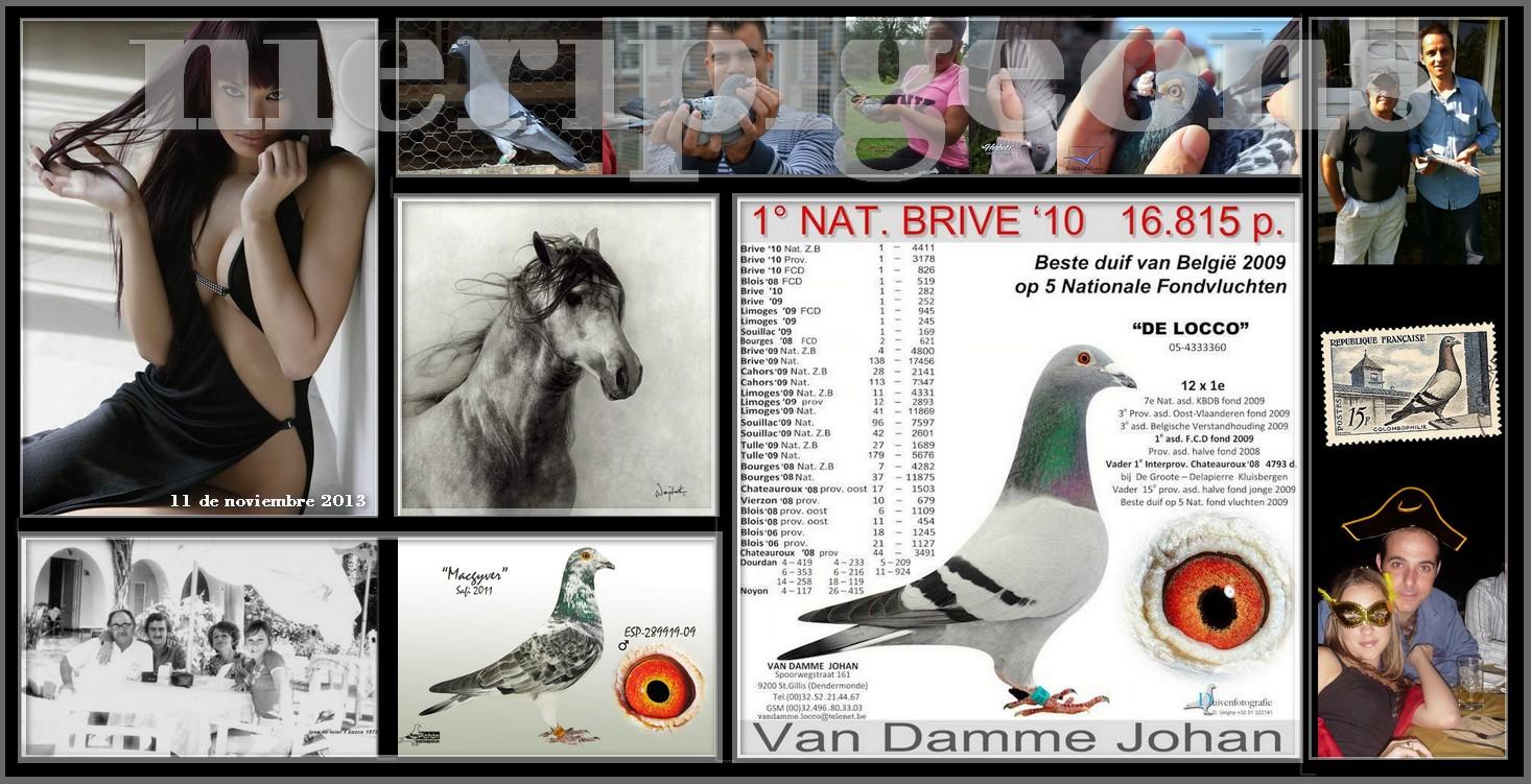 racing pigeons nieripigeons