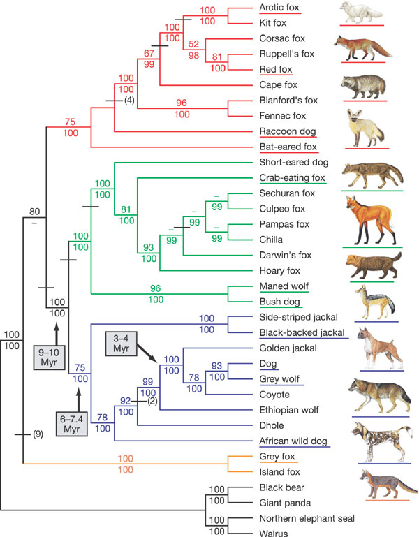 [Image: canid_phylogeny.jpg]