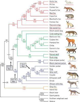 Canid phylogeny tree