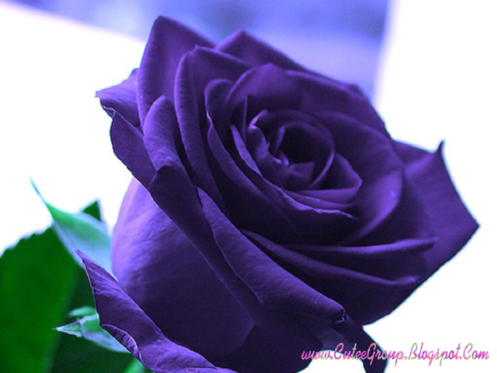 Cute roses wallpapers the world of fun cutee group for Purple rose pictures