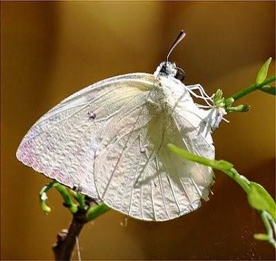 Primbon Makna - Kupu-kupu Putih