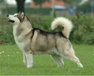 alaskan malamute pets dog animl wallpaper husky