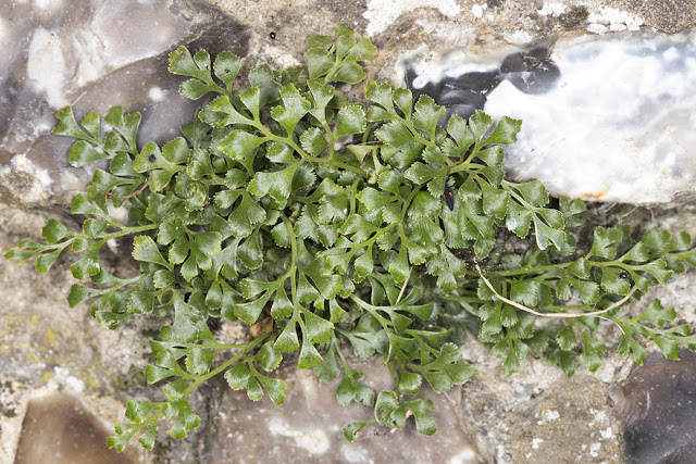 Wall Rue, Asplenium ruta-muraria.  On the churchyard wall in Downe, 27 June 2015.