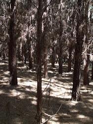 Pinus, plantas invasoras