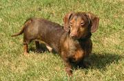 Dachshund Puppy Pictures