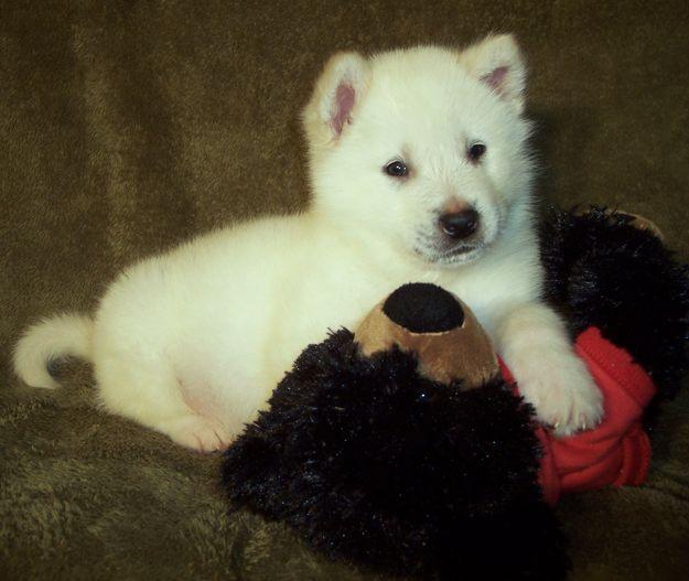 White Alaskan Malamute Puppies Wallpaper Desktop HD