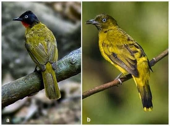 Foto Burung Kutilang Malaysia Jantan